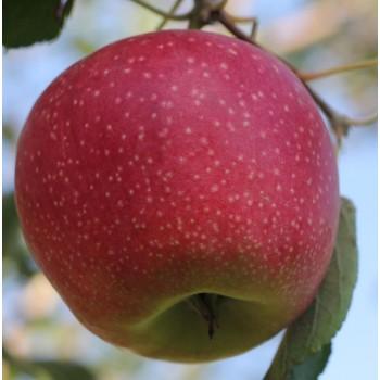 Яблоня Салтанат