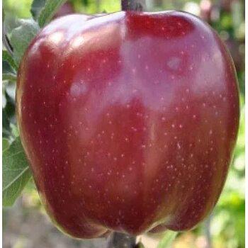 Яблоня Джеромини