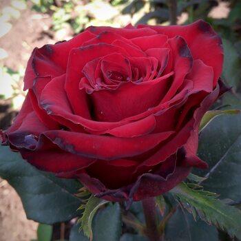 Роза  Гранд Амур