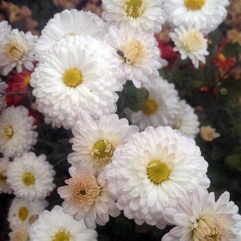 Хризантема Белла Жовте