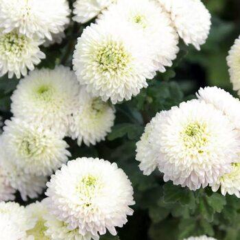 Хризантема Белый шар