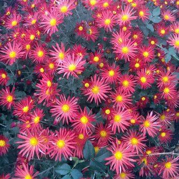 Хризантема Красная мультифлора