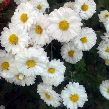 Хризантема Белая ромашка