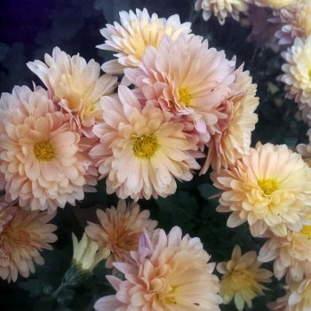 Хризантема Вранпетит Салмон