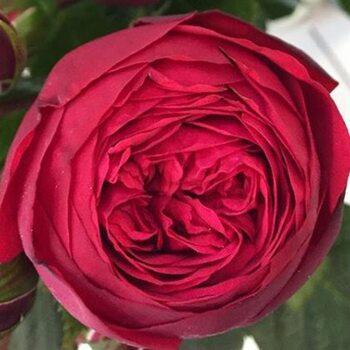 Роза  Ред Пиано