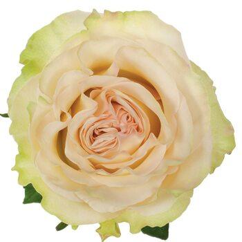 Роза  Динамик