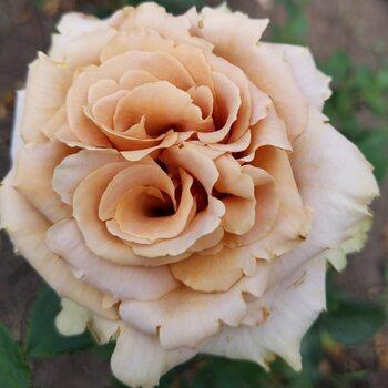 Роза  Тоффи