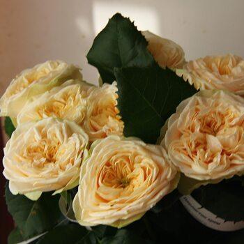 Роза  Дарлигтон