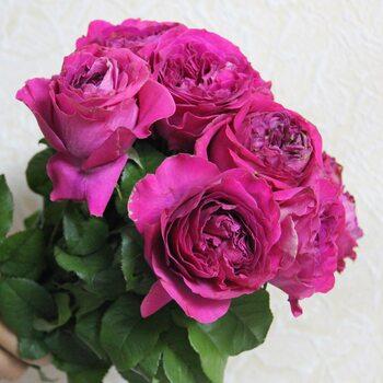 Роза  Пион Фиолетовый