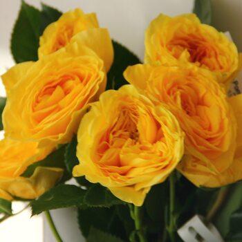 Роза  Лемон Помпон