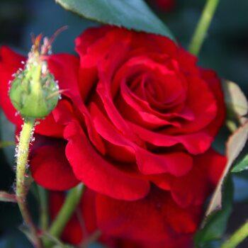 Роза  Арикота
