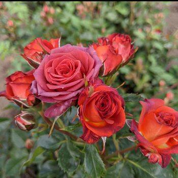 Роза  Чокочино
