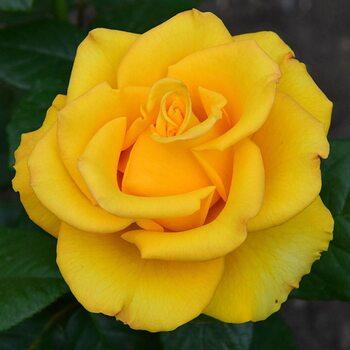 Роза  Керео