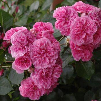 Роза Les Quatre Saisons