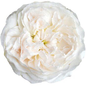 Роза  Пурити Аусобиге