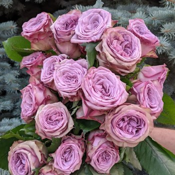 Роза Дольчетто
