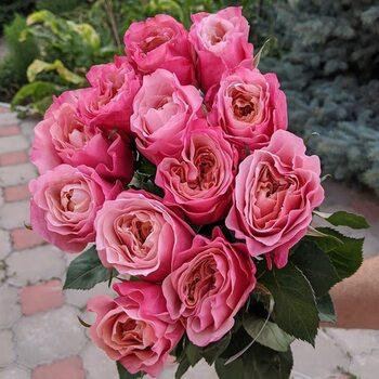Роза  Каоликазали