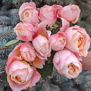 Роза Принцесса Сакура