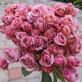 Роза Сола