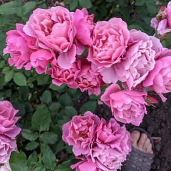Роза  Аои