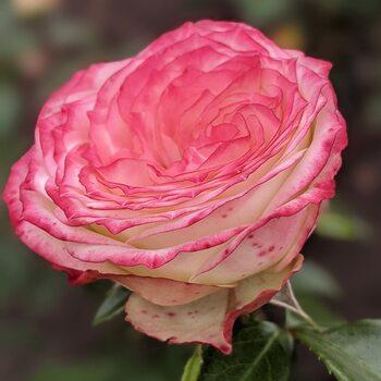 Роза  Латин помпон