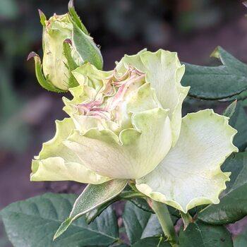 Роза  Лимонад