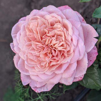Роза Мияби