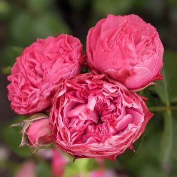 Роза  Пион розовый