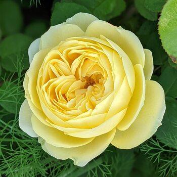 Роза  Пион желтый