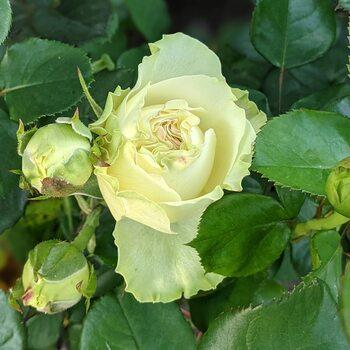 Роза  Пур Блонд