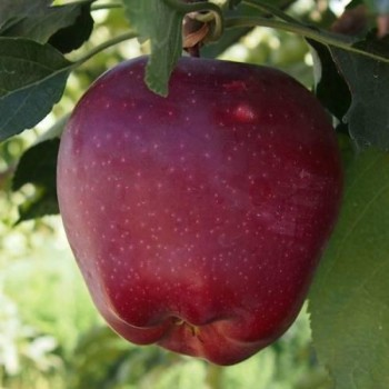 Яблоня Супер Чиф